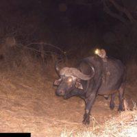 KZN Buffalo Image Gone Viral