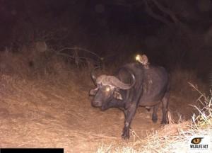 Buffalo and Genet