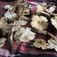 Mushrooms Poison KZN Family